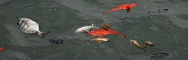 20111020110137-peces-muertos.jpg